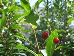 berryberry2.JPG